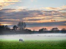 Moutons dans la brume - coucher du soleil Photo libre de droits