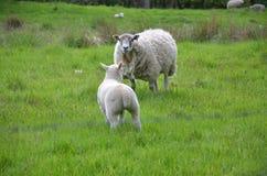 Moutons dans la campagne Images libres de droits