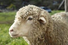 Moutons dans la ferme Photographie stock libre de droits