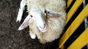 Moutons dans la ferme Images stock