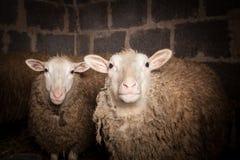 Moutons dans la grange Photographie stock