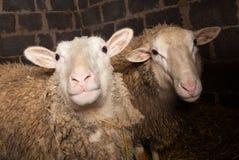 Moutons dans la grange Photographie stock libre de droits