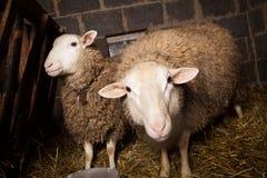 Moutons dans la grange Photos stock