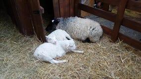 Moutons dans la grange à Noël juste banque de vidéos
