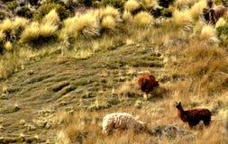 Moutons dans la montagne Photo libre de droits