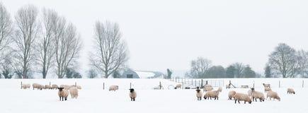 Moutons dans la neige Photos stock