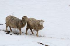 Moutons dans la neige Photographie stock
