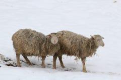 Moutons dans la neige Photo libre de droits