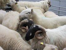 Moutons dans la place, Kenmare, Irlande Images stock