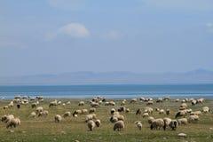 Moutons dans la prairie Photos stock
