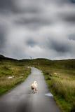 Moutons dans la route Images stock