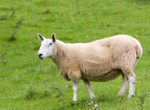 Moutons dans le domaine Photographie stock