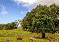 Moutons dans le domaine Photo stock