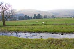 Moutons dans le domaine Photographie stock libre de droits