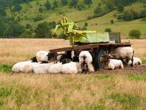 Moutons dans le domaine abrité sous les machines agricoles Image stock