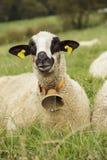Moutons dans le domaine avec la cloche photographie stock libre de droits