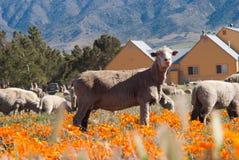 Moutons dans le domaine de pavot photographie stock