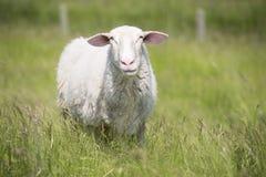 Moutons dans le haut pré d'herbe verte Photos stock