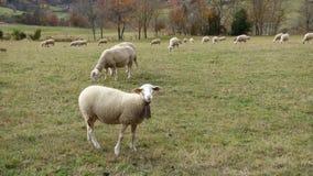 Moutons dans le pâturage photo libre de droits