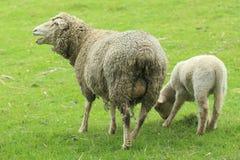 Moutons dans le pâturage Photo stock