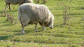 Moutons dans le pré clips vidéos