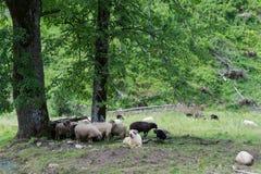 Moutons dans le pré Photos stock