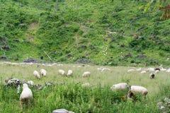 Moutons dans le pré Photographie stock