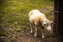 Moutons dans le pré Photo stock
