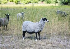 Moutons dans le pré de vert de nature Élevage des moutons Photos stock