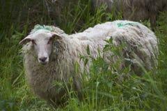 Moutons dans le pré un jour ensoleillé Photographie stock libre de droits