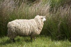 Moutons dans le pré un jour ensoleillé Photos stock