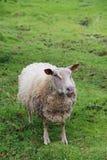 Moutons dans le pré vert Photo stock
