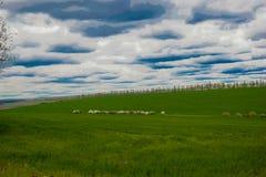 Moutons dans le pré vert Photos libres de droits