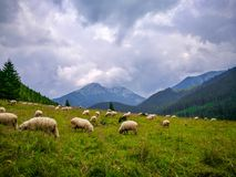 Moutons dans le pré, Zakopane, Polska photos stock
