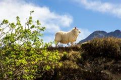 Moutons dans le profil avec des montagnes Photos stock