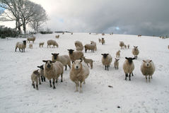 Moutons dans le snow_02 photos stock