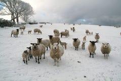 Moutons dans le snow_02 Photos stock