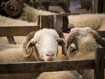 Moutons dans le stylo, exposition de pays, Yorkshire Photo libre de droits