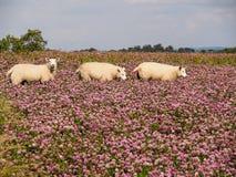 Moutons dans le trèfle Photographie stock