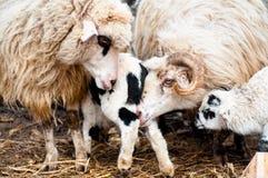 Moutons dans le troupeau mangeant et enseignant les agneaux Photos libres de droits
