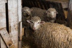 Moutons dans le village photographie stock