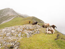 Moutons dans les alpes autrichiennes Photos libres de droits