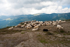 Moutons dans les Carpathiens Photo stock