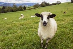 Moutons dans les domaines verts photos libres de droits