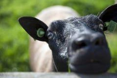 Moutons dans les greenlands Schalkwijk photos stock