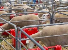 Moutons dans les hangars en acier d'un agnelage aux industries agricoles de l'Australie photographie stock
