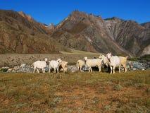 Moutons dans les montagnes Images stock