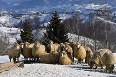 Moutons dans les montagnes l'hiver photo libre de droits