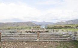 Moutons dans les parcs à bestiaux, Otago, Nouvelle-Zélande photographie stock libre de droits