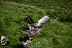 Moutons dans Snowdonia image libre de droits